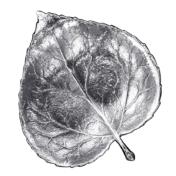 Large Aspen Leaf